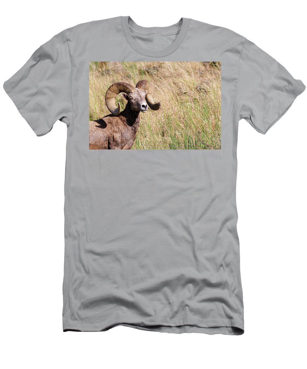 Bighorn Sheep Men's T-Shirt (Athletic Fit) featuring the photograph Trophy Bighorn In The Grass by Steve McKinzie