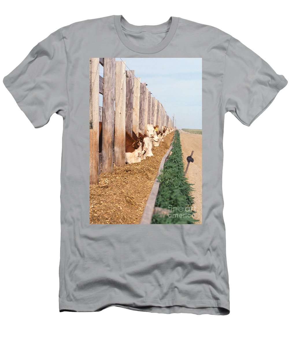 Cow Men's T-Shirt (Athletic Fit) featuring the photograph Cattle Feeding by Photo Researchers