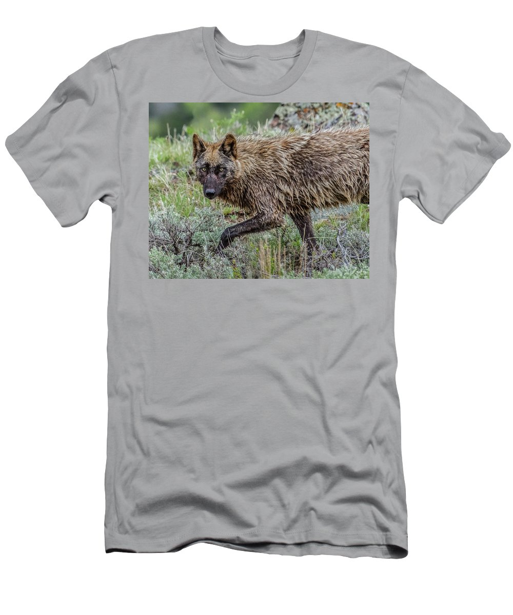 Wolf Men's T-Shirt (Athletic Fit) featuring the photograph A Star In Lamar by Yeates Photography