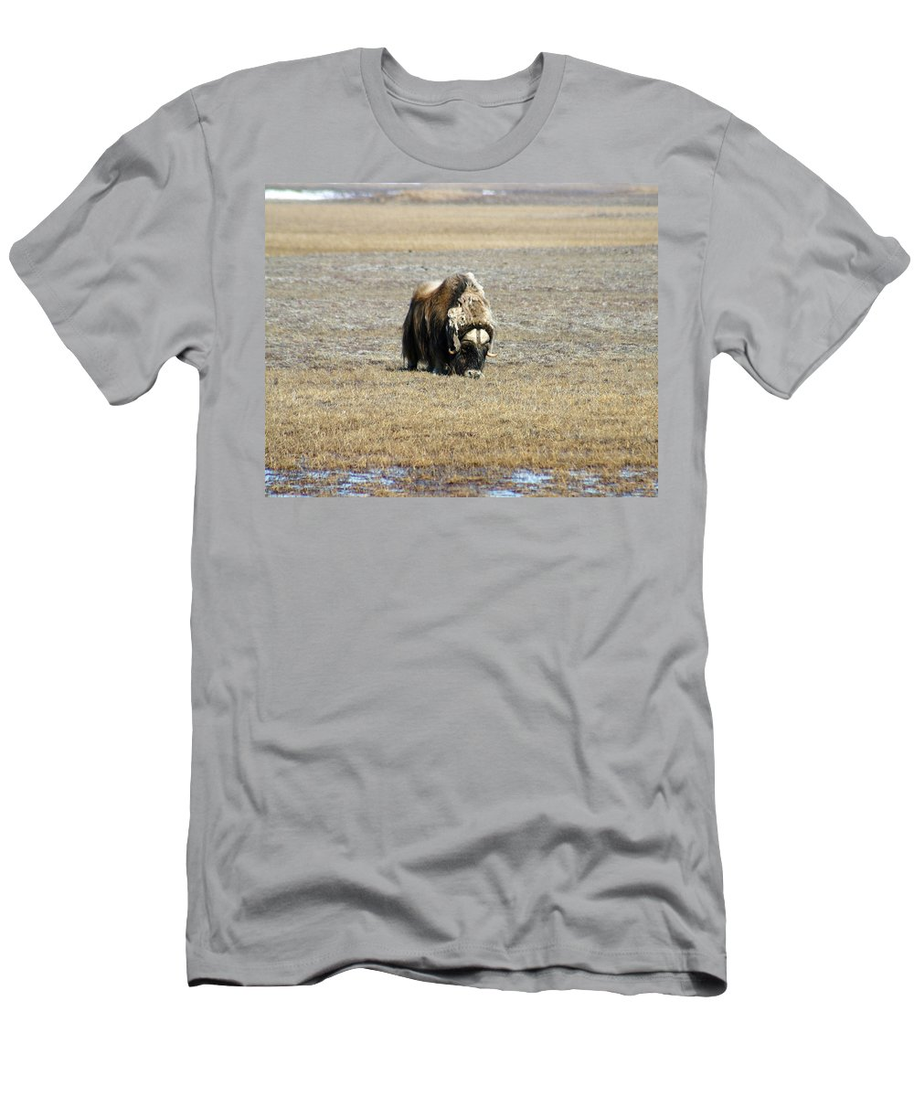 Musk Ox Men's T-Shirt (Athletic Fit) featuring the photograph Musk Ox Grazing by Anthony Jones