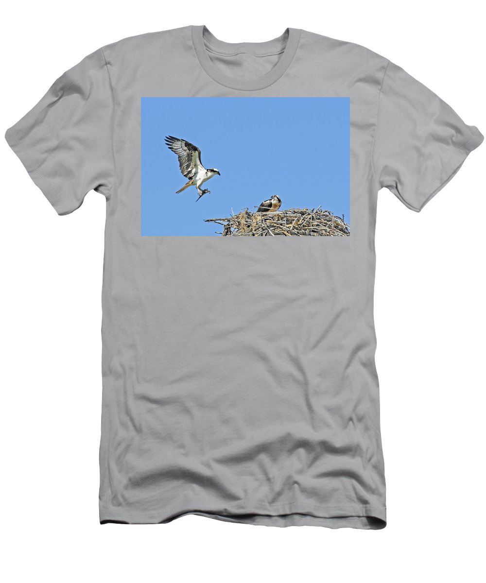 Osprey Men's T-Shirt (Athletic Fit) featuring the photograph Osprey Brings Fish To Nest by Gary Beeler