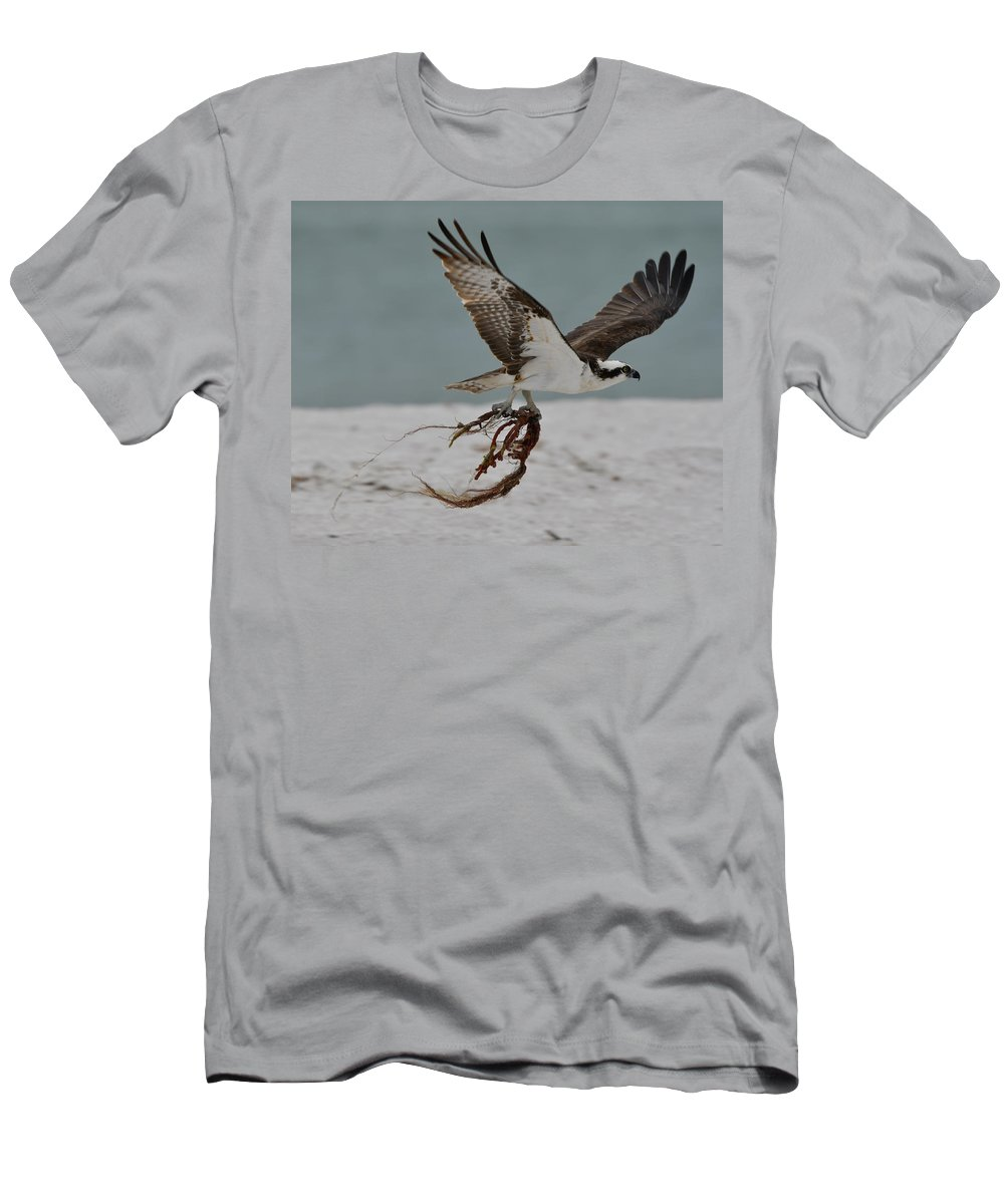 Osprey Men's T-Shirt (Athletic Fit) featuring the photograph Osprey Flying With Seaweed by Artful Imagery