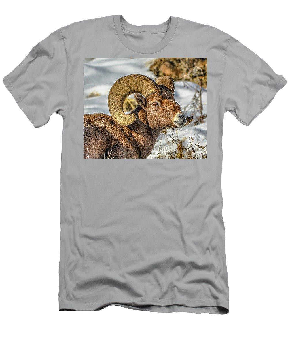 Bighorn Sheep T-Shirt featuring the photograph Wintering Ram 1 by Jason Brooks
