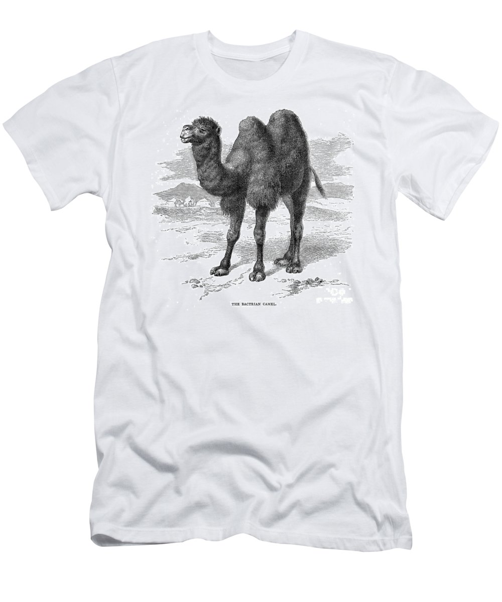 19th Century Men's T-Shirt (Athletic Fit) featuring the photograph Bactrian Camel by Granger