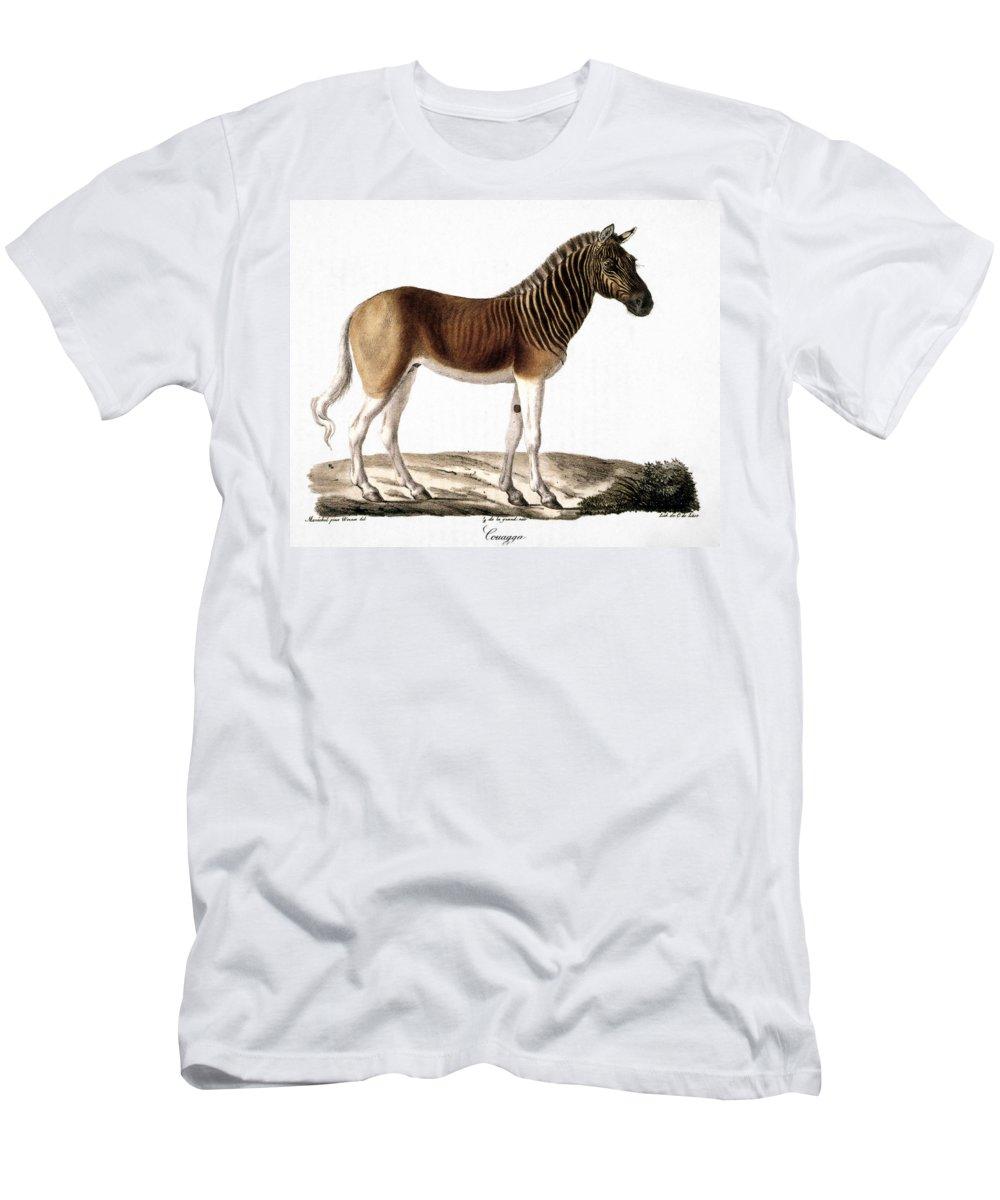 1824 Men's T-Shirt (Athletic Fit) featuring the photograph Quagga (equus Quagga) by Granger