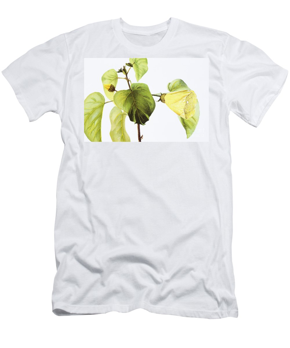 1885 Men's T-Shirt (Athletic Fit) featuring the painting Hau Plant Art by Hawaiian Legacy Archive - Printscapes