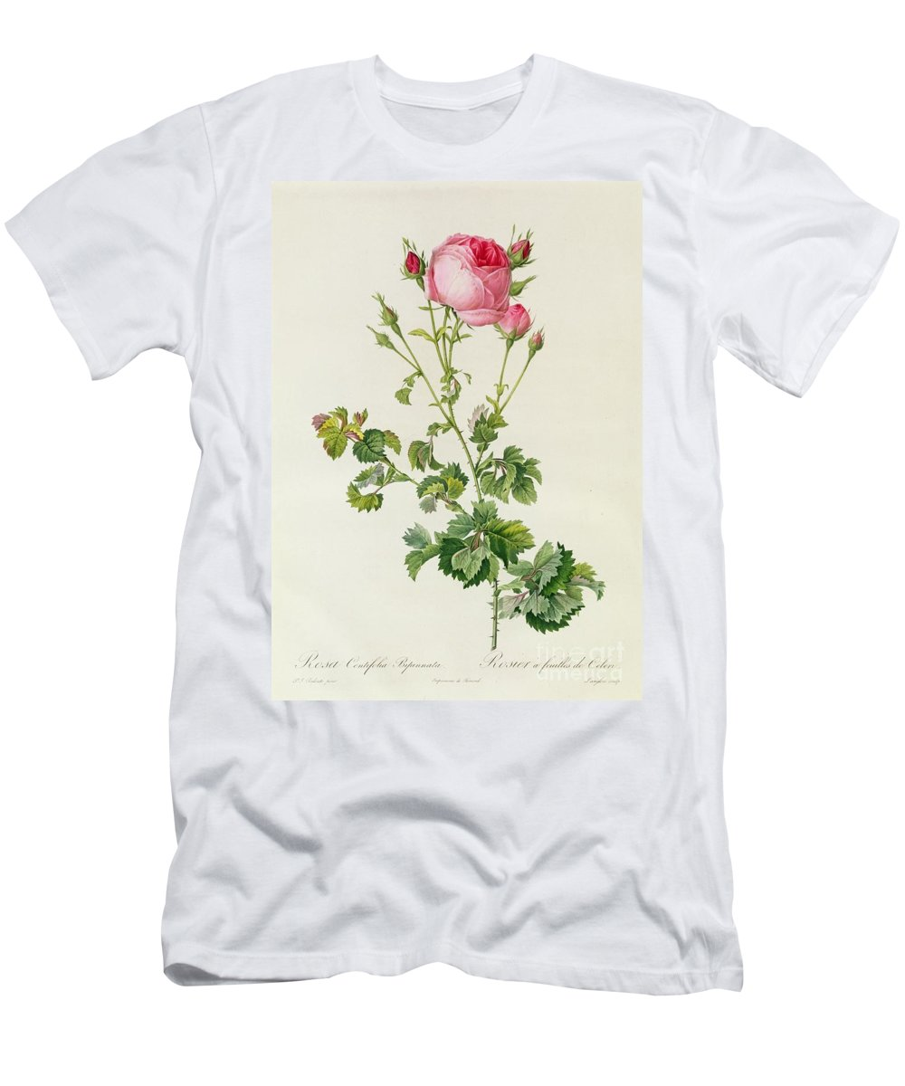 Rosa Men's T-Shirt (Athletic Fit) featuring the painting Rosa Centifolia Bipinnata by Pierre Joseph Redoute