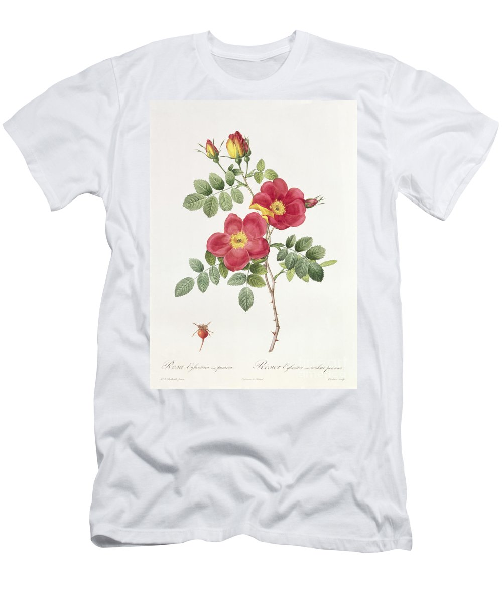 Rosa Men's T-Shirt (Athletic Fit) featuring the drawing Rosa Eglantera Punicea by Pierre Joseph Redoute