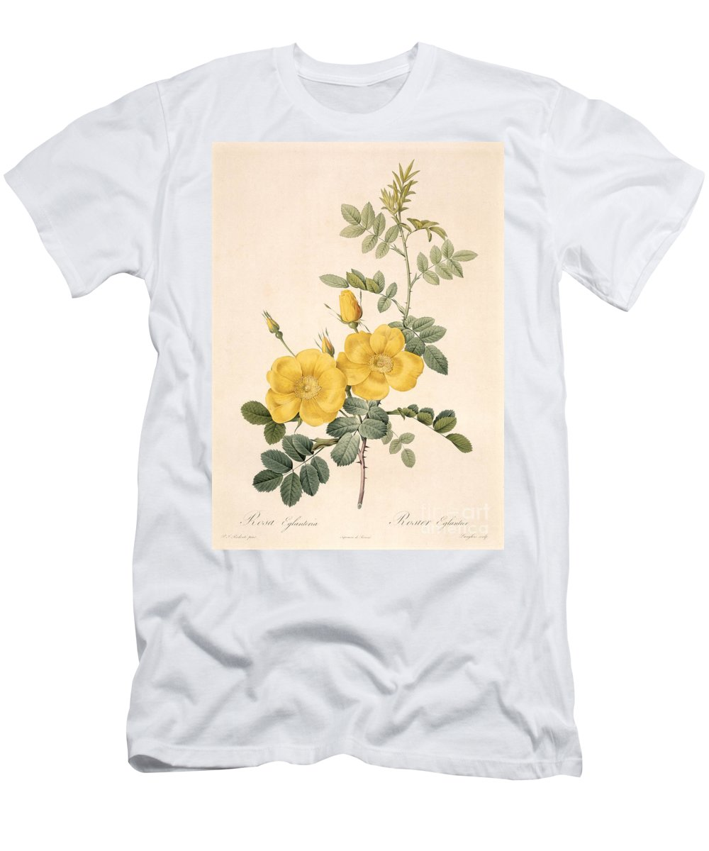 Rosa Men's T-Shirt (Athletic Fit) featuring the drawing Rosa Eglanteria by Pierre Joseph Redoute