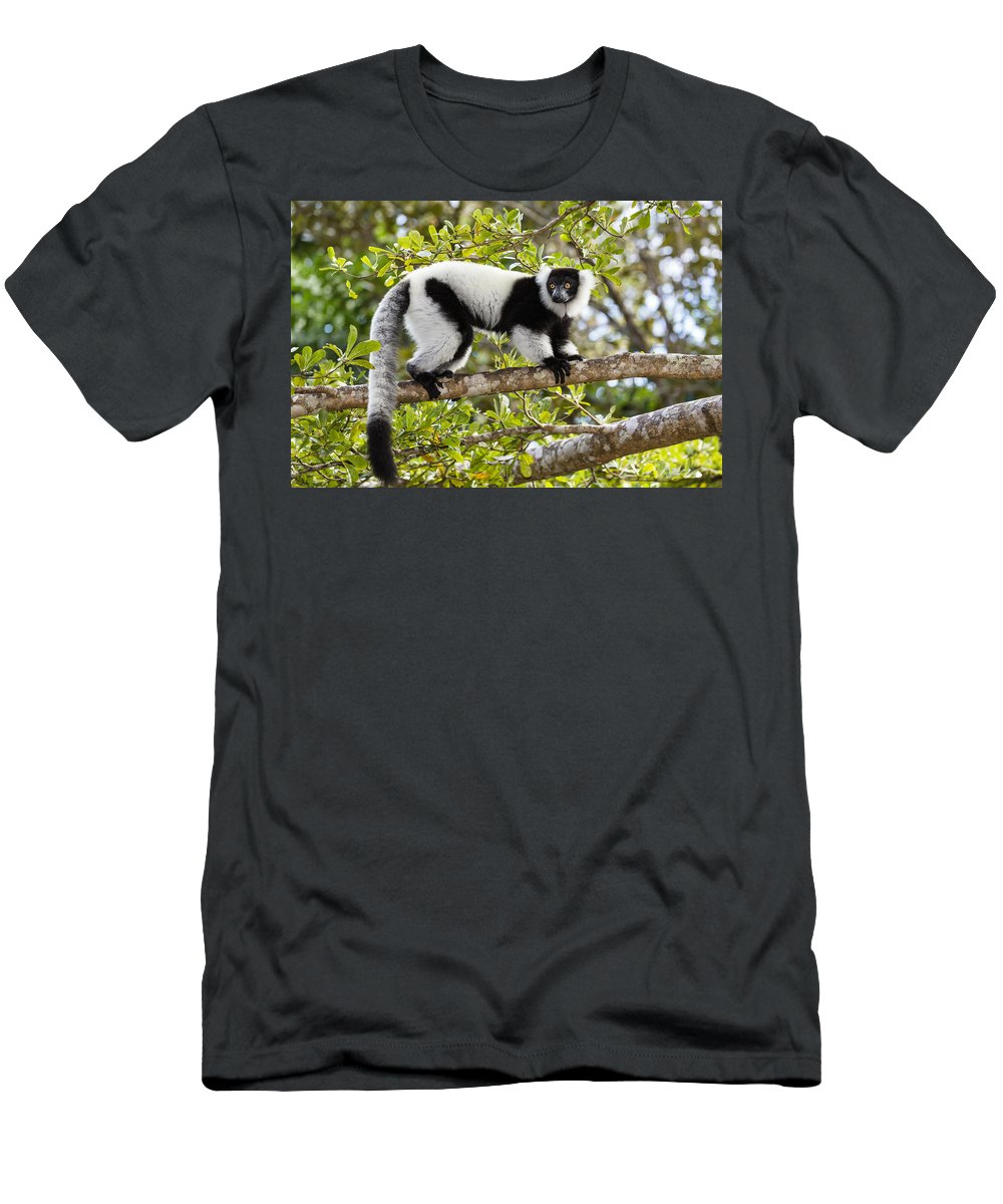 Feb0514 Men's T-Shirt (Athletic Fit) featuring the photograph Black And White Ruffed Lemur Madagascar by Konrad Wothe