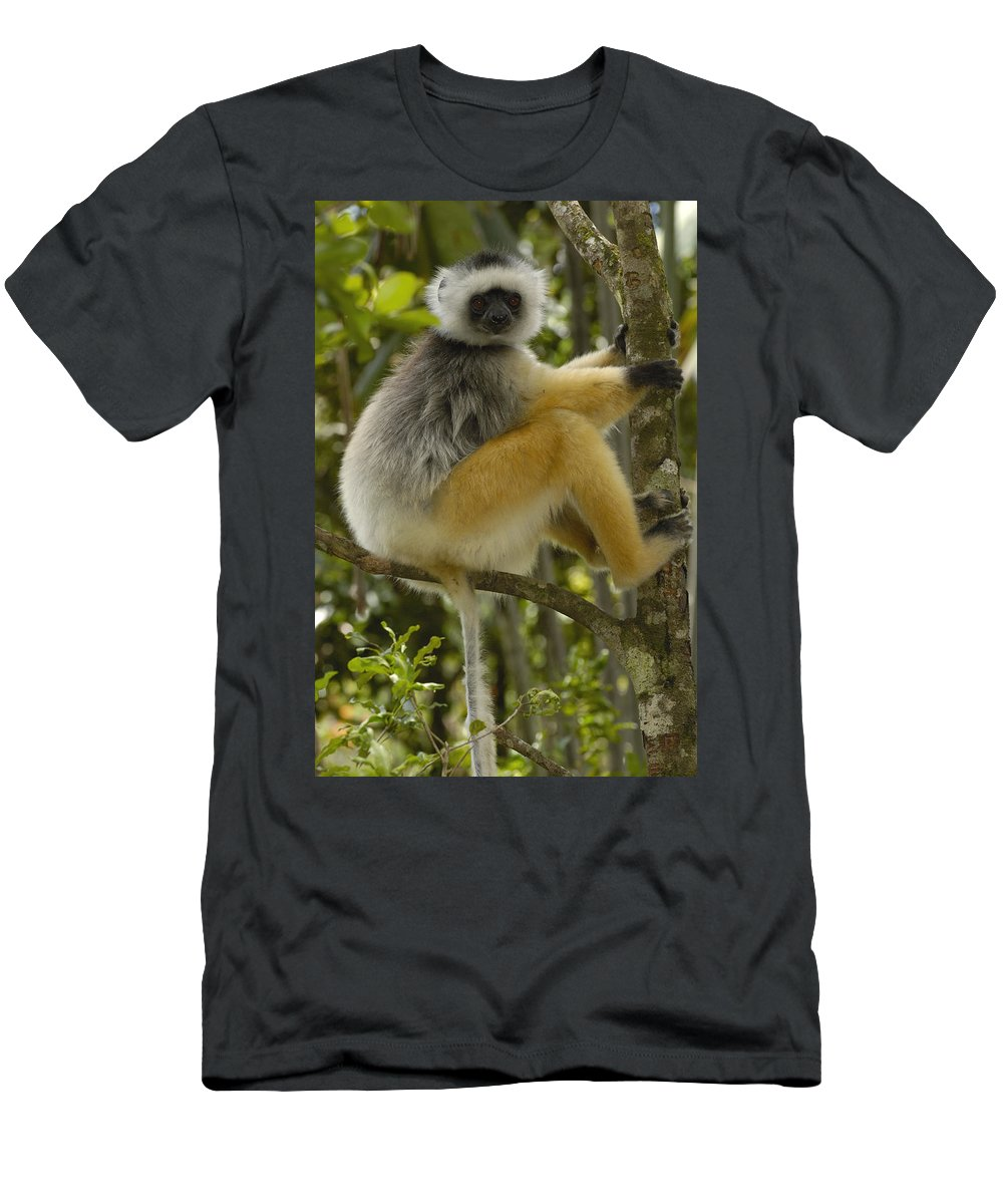 Feb0514 Men's T-Shirt (Athletic Fit) featuring the photograph Diademed Sifaka Madagascar by Pete Oxford