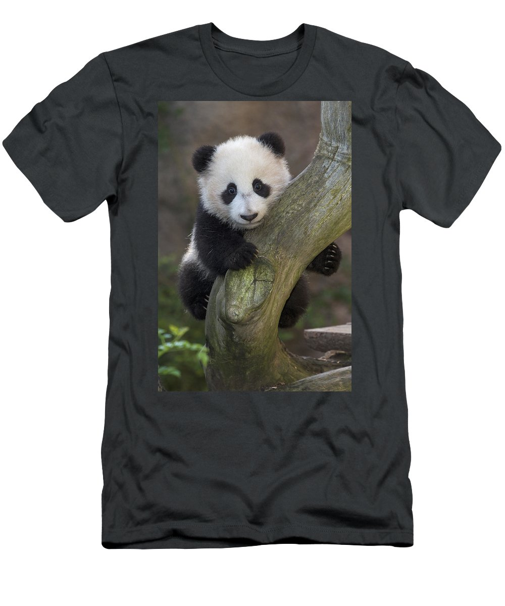 Feb0514 Men's T-Shirt (Athletic Fit) featuring the photograph Giant Panda Cub In Tree by San Diego Zoo