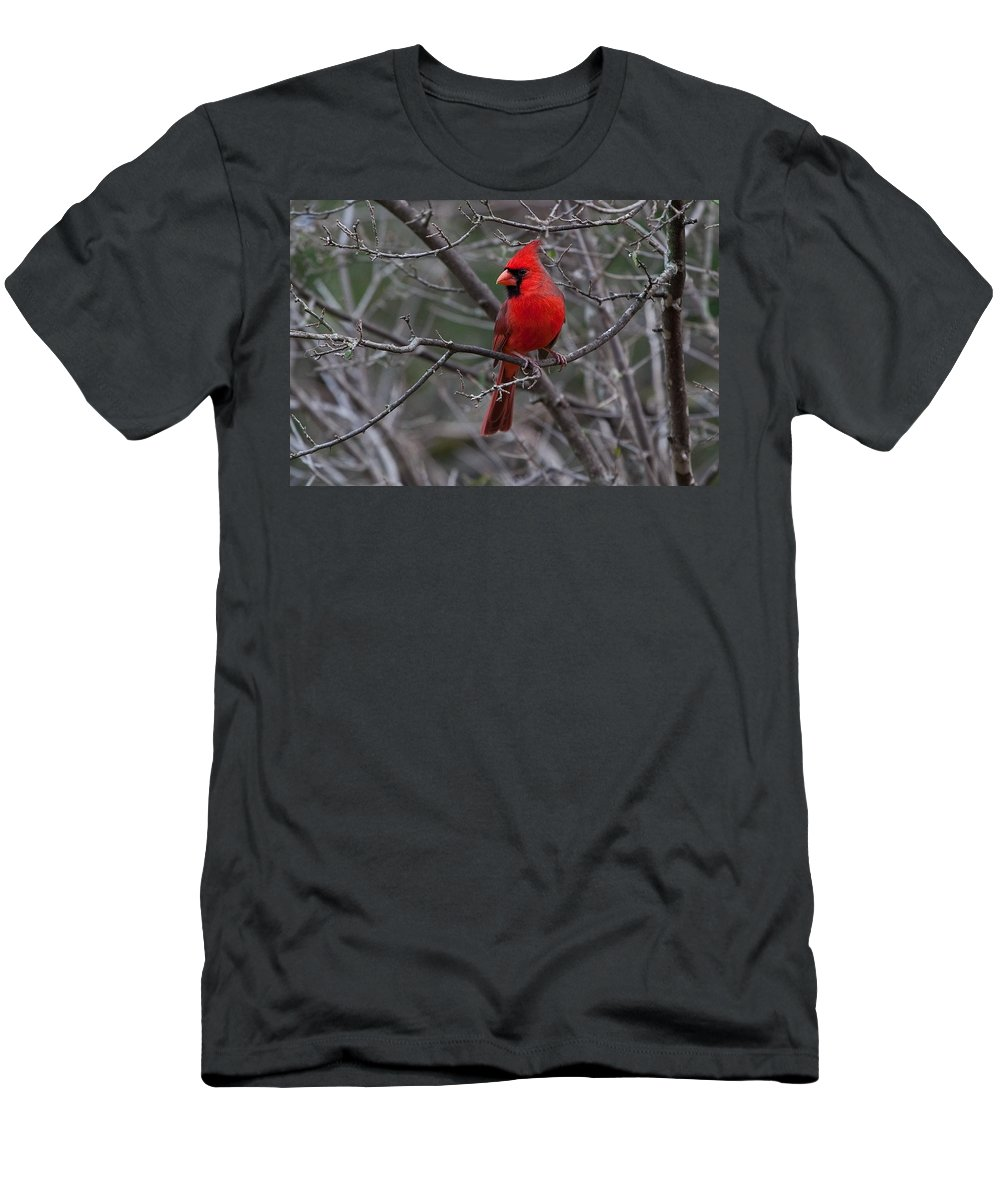 Cardinal Men's T-Shirt (Athletic Fit) featuring the photograph Northern Cardinal by Ronnie Prcin