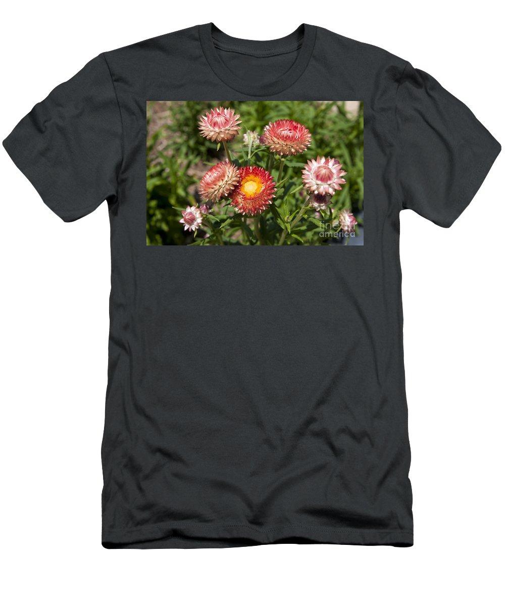 Strawflower Men's T-Shirt (Athletic Fit) featuring the photograph Straw Flowers Xerochrysum Bracteatum by Jason O Watson