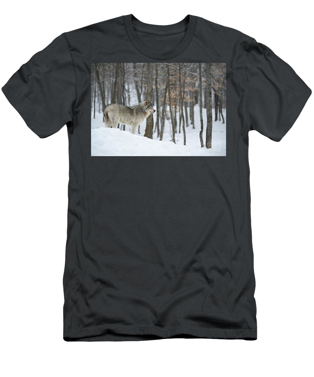 Timber Wolf Photography Men's T-Shirt (Athletic Fit) featuring the photograph Timber Wolf In Winter by Wolves Only