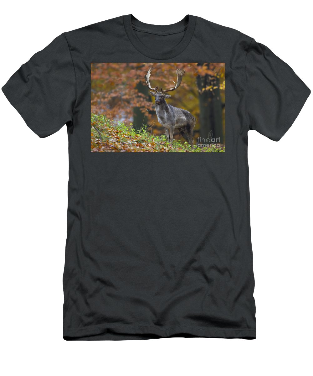 Fallow Deer Men's T-Shirt (Athletic Fit) featuring the photograph 110221p136 by Arterra Picture Library