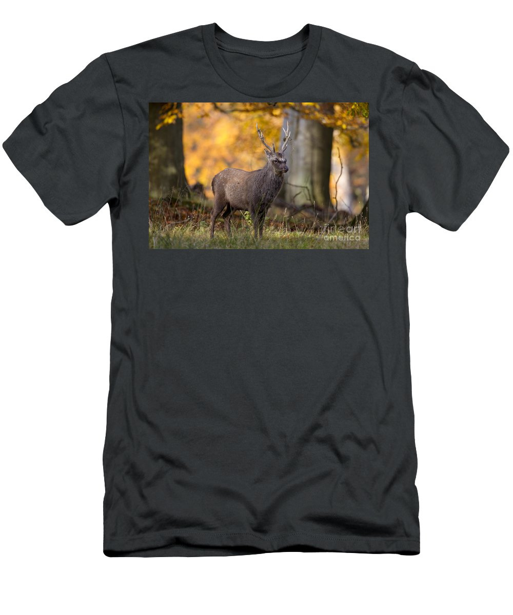 Sika Deer Men's T-Shirt (Athletic Fit) featuring the photograph 110307p069 by Arterra Picture Library