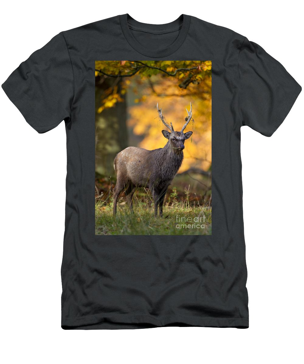 Sika Deer Men's T-Shirt (Athletic Fit) featuring the photograph 110307p073 by Arterra Picture Library