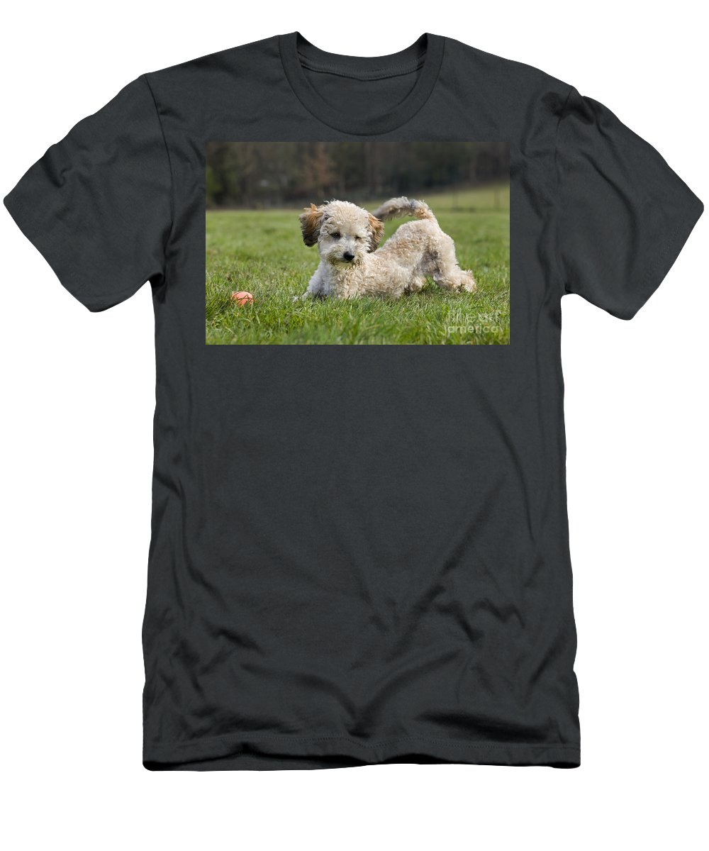 Standard Poodle Men's T-Shirt (Athletic Fit) featuring the photograph 110506p132 by Arterra Picture Library