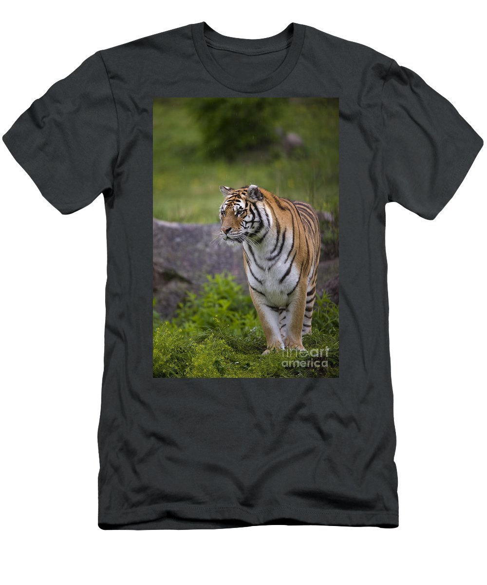 Asia Men's T-Shirt (Athletic Fit) featuring the photograph Siberian Tiger, China by John Shaw