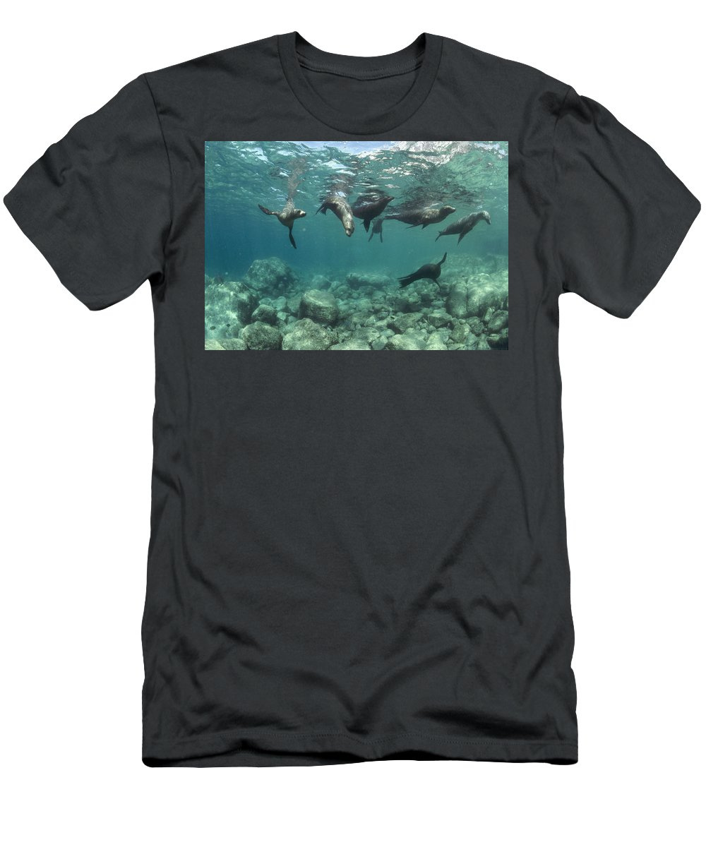 00082149 Men's T-Shirt (Athletic Fit) featuring the photograph Playful Sealions In Baja by Flip Nicklin