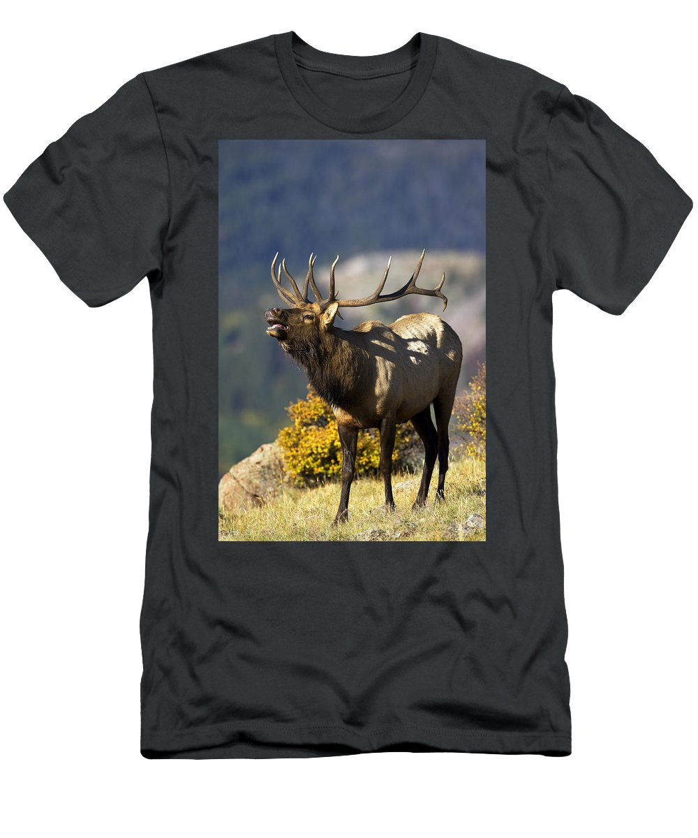 Autumn Men's T-Shirt (Athletic Fit) featuring the photograph Autumn Bull Elk Bugling by Gary Langley