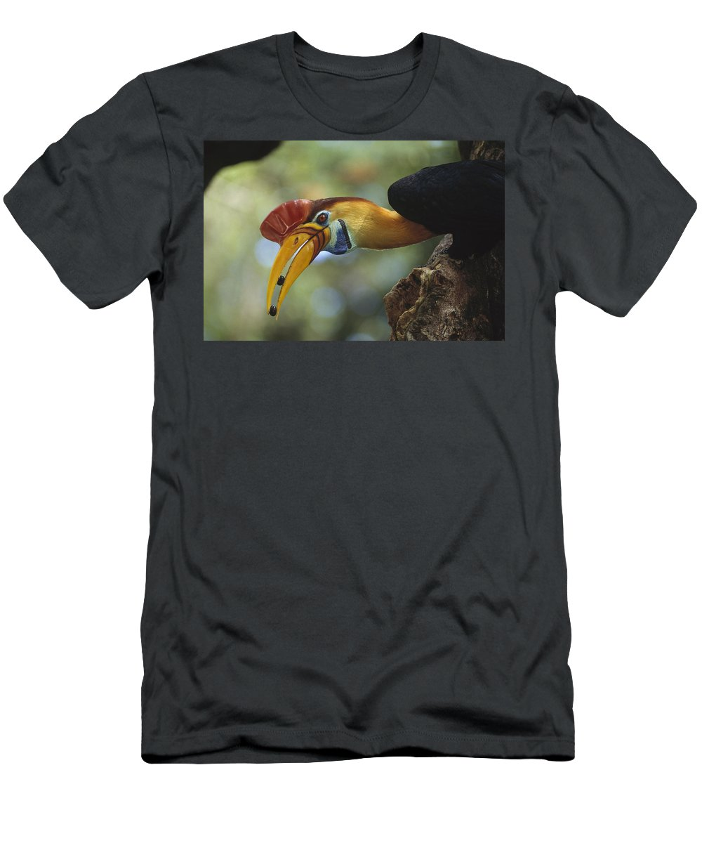 Feb0514 Men's T-Shirt (Athletic Fit) featuring the photograph Sulawesi Red-knobbed Hornbill Male by Tui De Roy