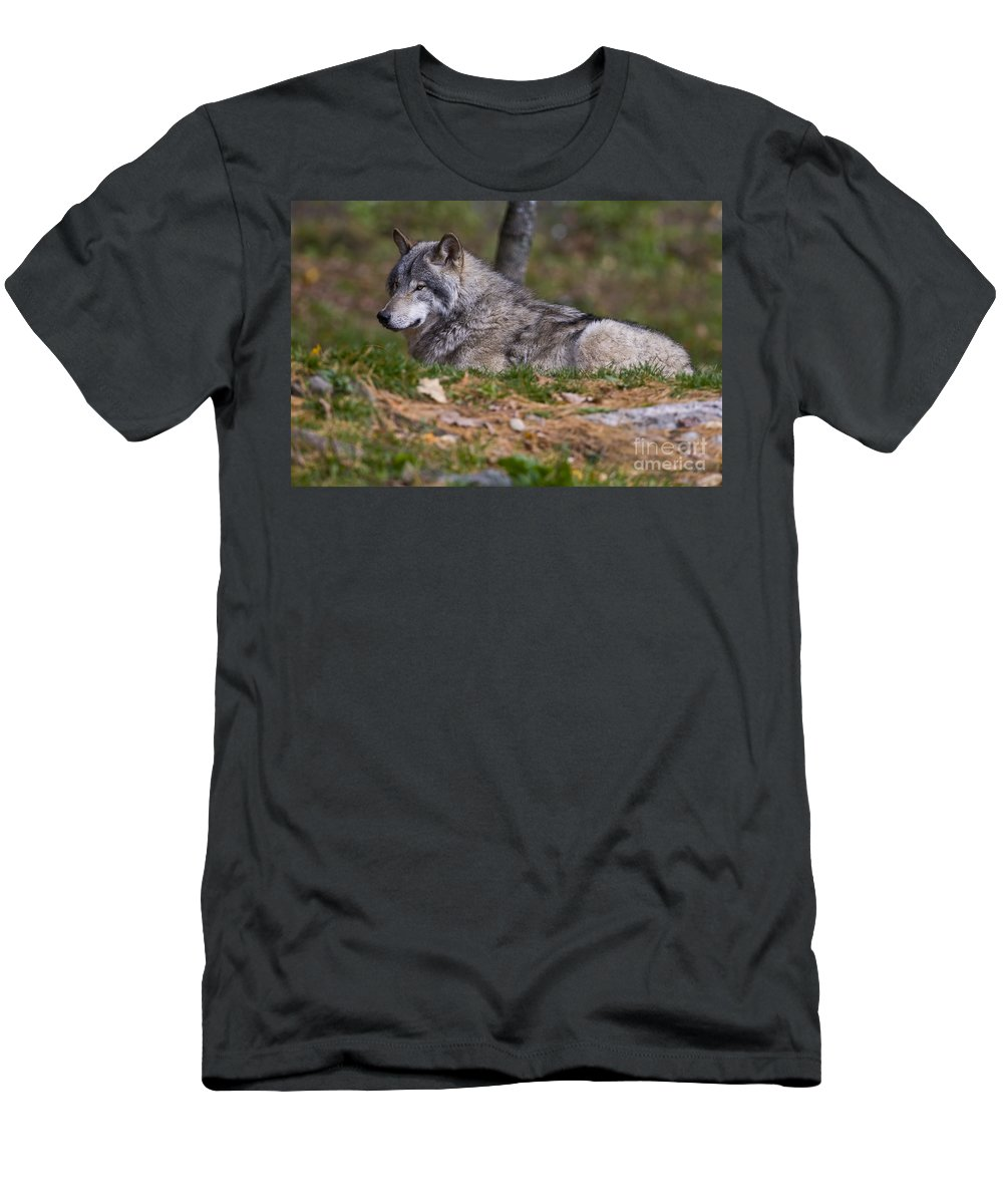 Timber Wolf Photography Men's T-Shirt (Athletic Fit) featuring the photograph Timber Wolf by Wolves Only