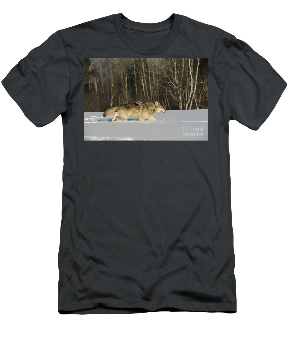 Canis Lupus Men's T-Shirt (Athletic Fit) featuring the photograph Wolf In Winter by John Shaw