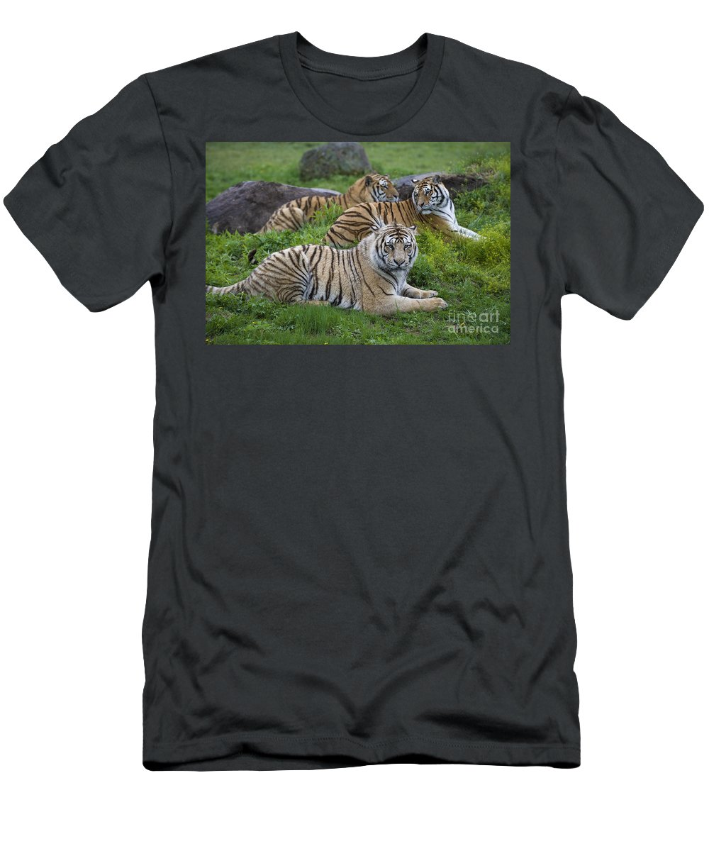 Asia Men's T-Shirt (Athletic Fit) featuring the photograph Siberian Tigers, China by John Shaw