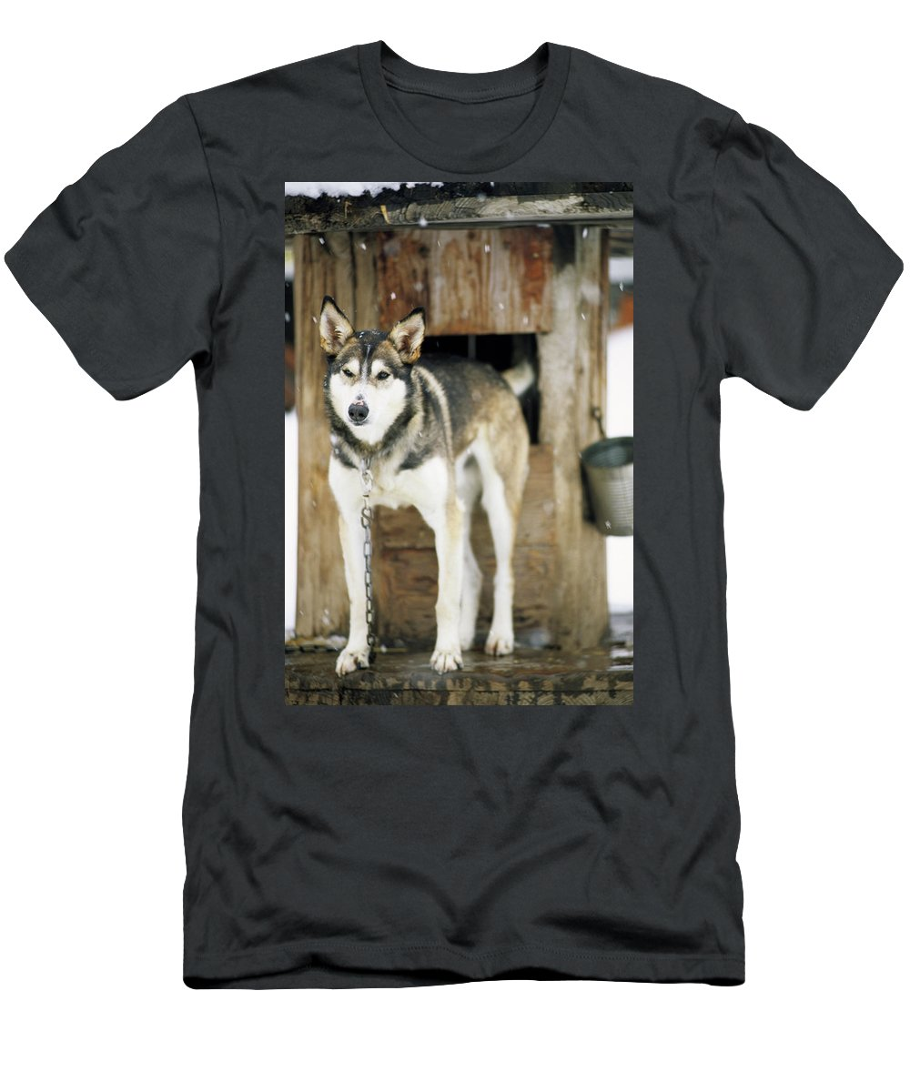 Cold Men's T-Shirt (Athletic Fit) featuring the photograph A Sled Dog Stands By Its Kennel by Jeff Diener