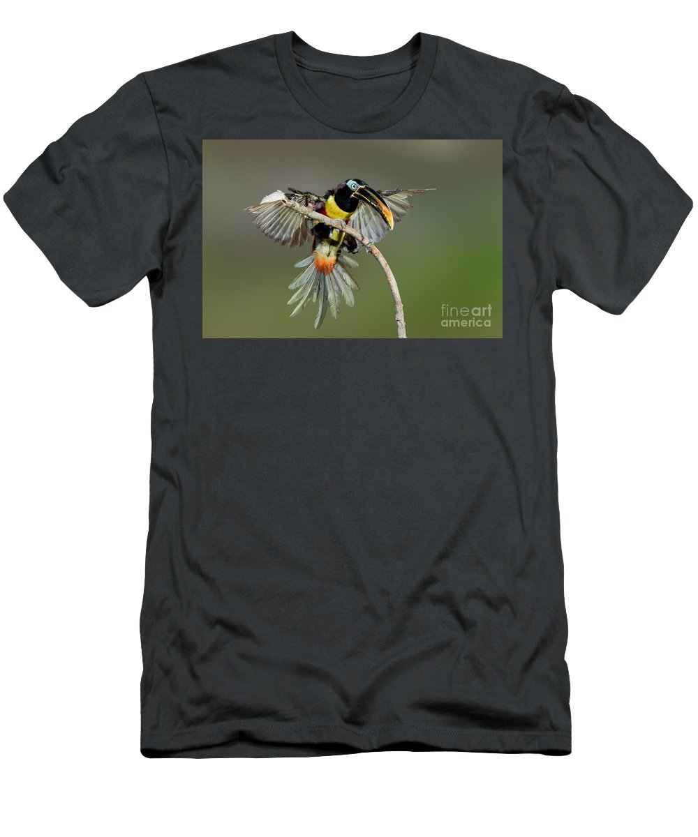 Chestnut-eared Aracari Men's T-Shirt (Athletic Fit) featuring the photograph Chestnut-eared Aracari Just Landed by Anthony Mercieca