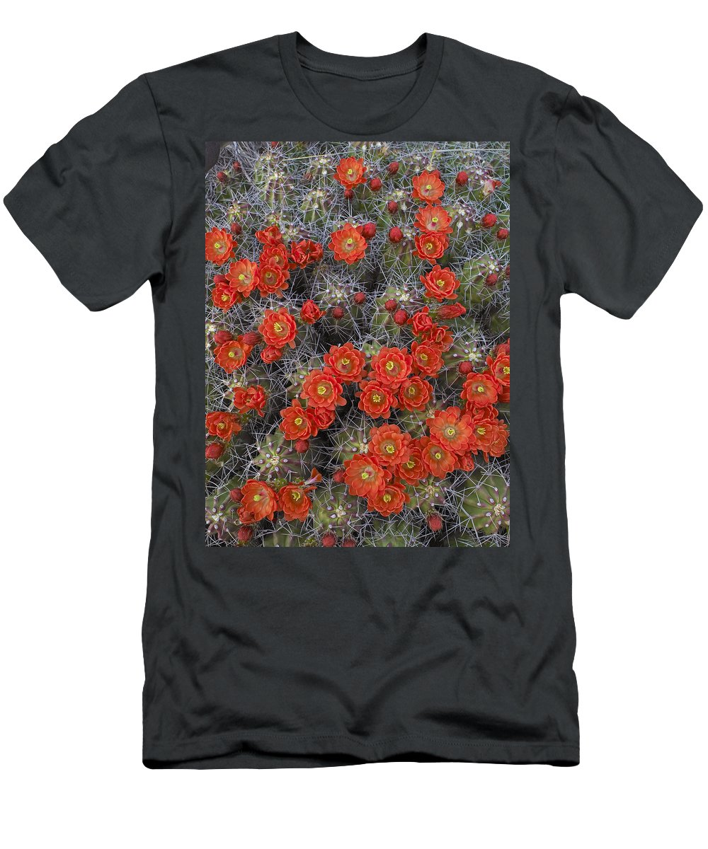 Feb0514 Men's T-Shirt (Athletic Fit) featuring the photograph Claret Cup Cactus Flowers Detail by Tim Fitzharris