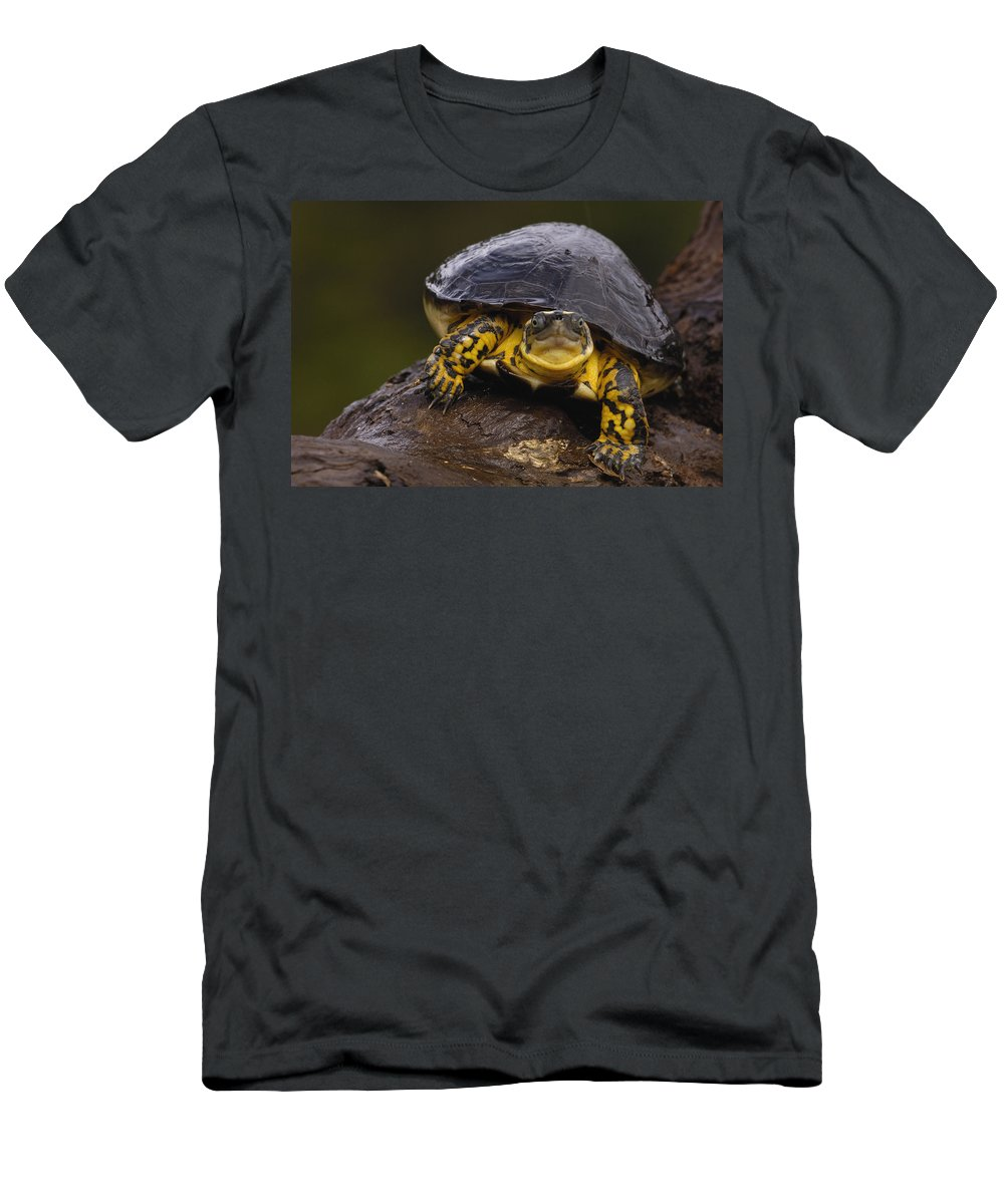 Feb0514 Men's T-Shirt (Athletic Fit) featuring the photograph Colombian Wood Turtle Amazon Ecuador by Pete Oxford