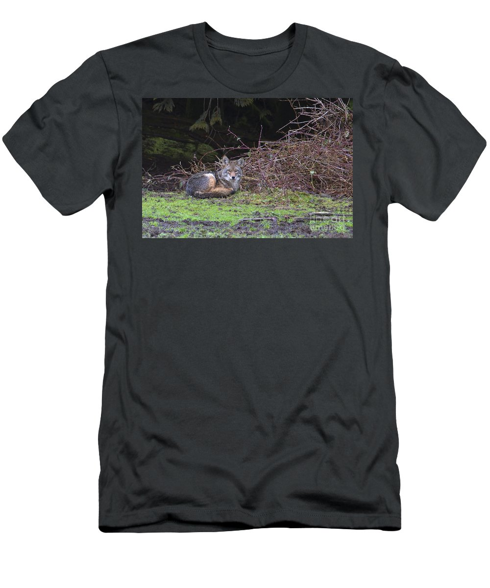 Coyote Men's T-Shirt (Athletic Fit) featuring the photograph Coyote Curled Up by Sharon Talson