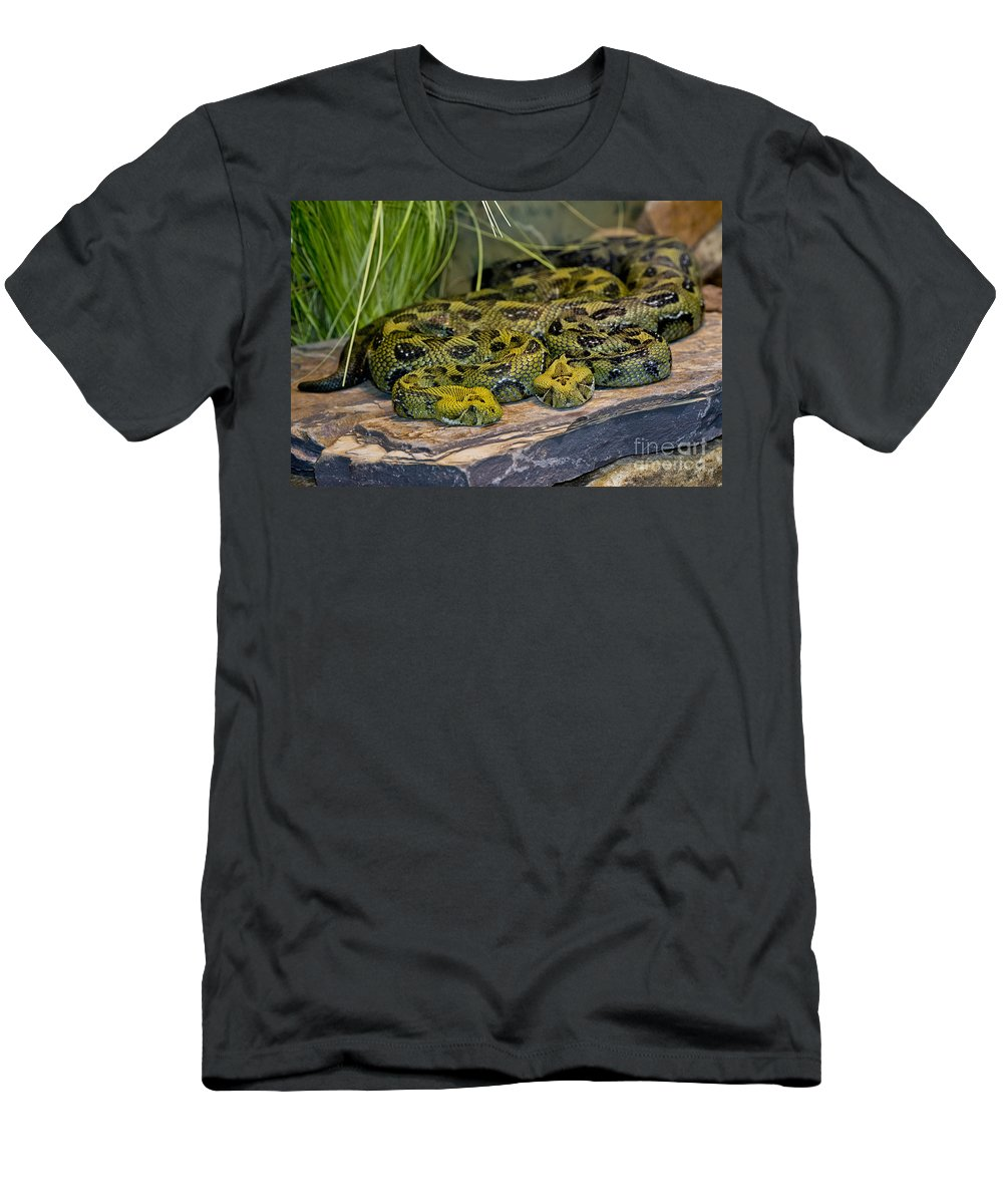 Ethiopian Mountain Viper Men's T-Shirt (Athletic Fit) featuring the photograph Ethiopian Mountain Vipers by Anthony Mercieca