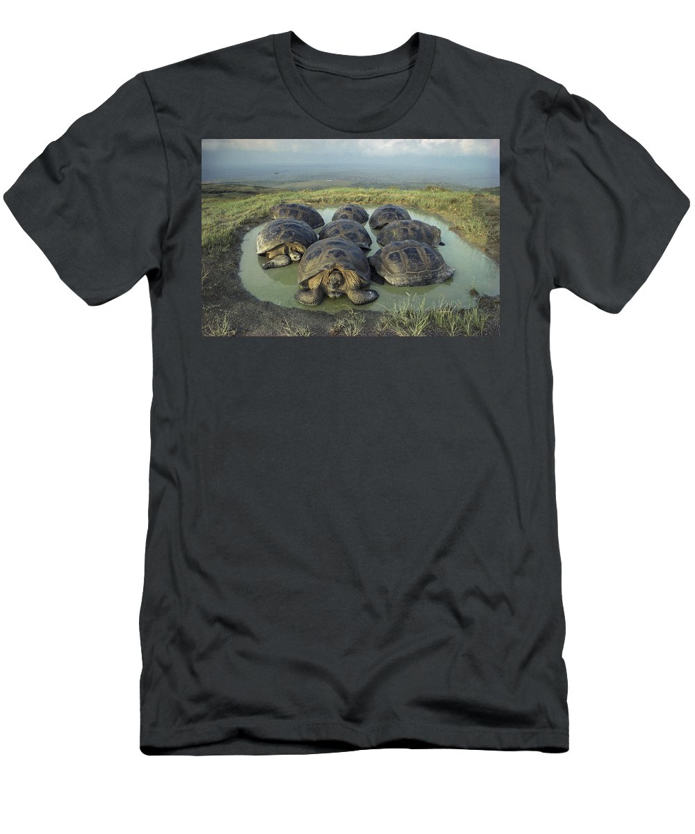 Feb0514 Men's T-Shirt (Athletic Fit) featuring the photograph Galapagos Giant Tortoises Wallowing by Tui De Roy