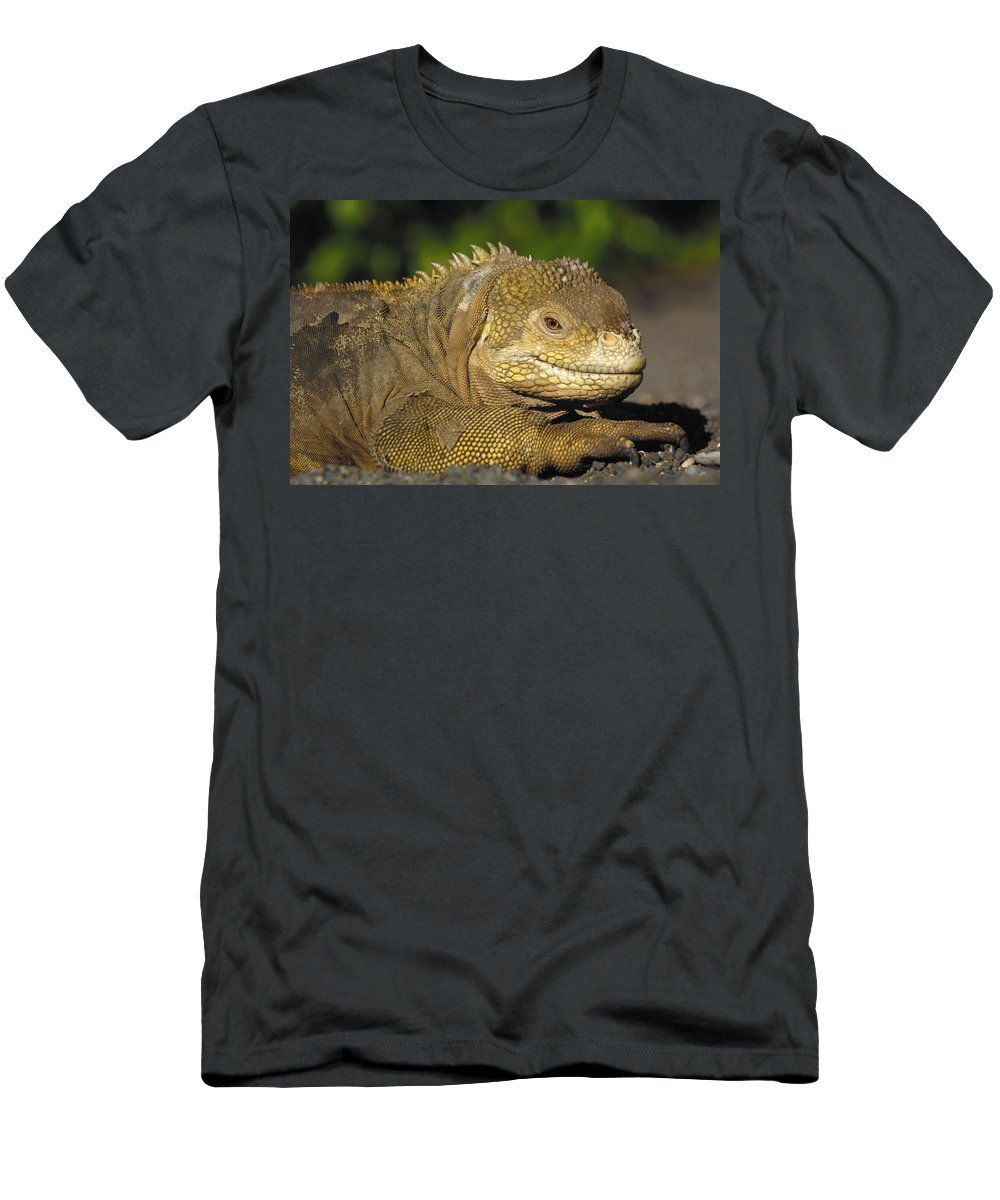 Feb0514 Men's T-Shirt (Athletic Fit) featuring the photograph Galapagos Land Iguana Isabella Island by Pete Oxford