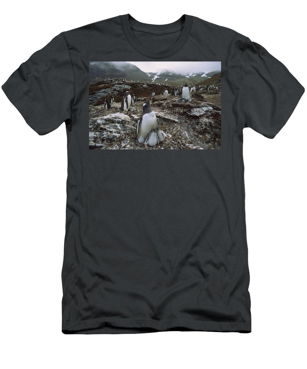 Feb0514 Men's T-Shirt (Athletic Fit) featuring the photograph Gentoo Penguin And Chicks South Georgia by Gerry Ellis
