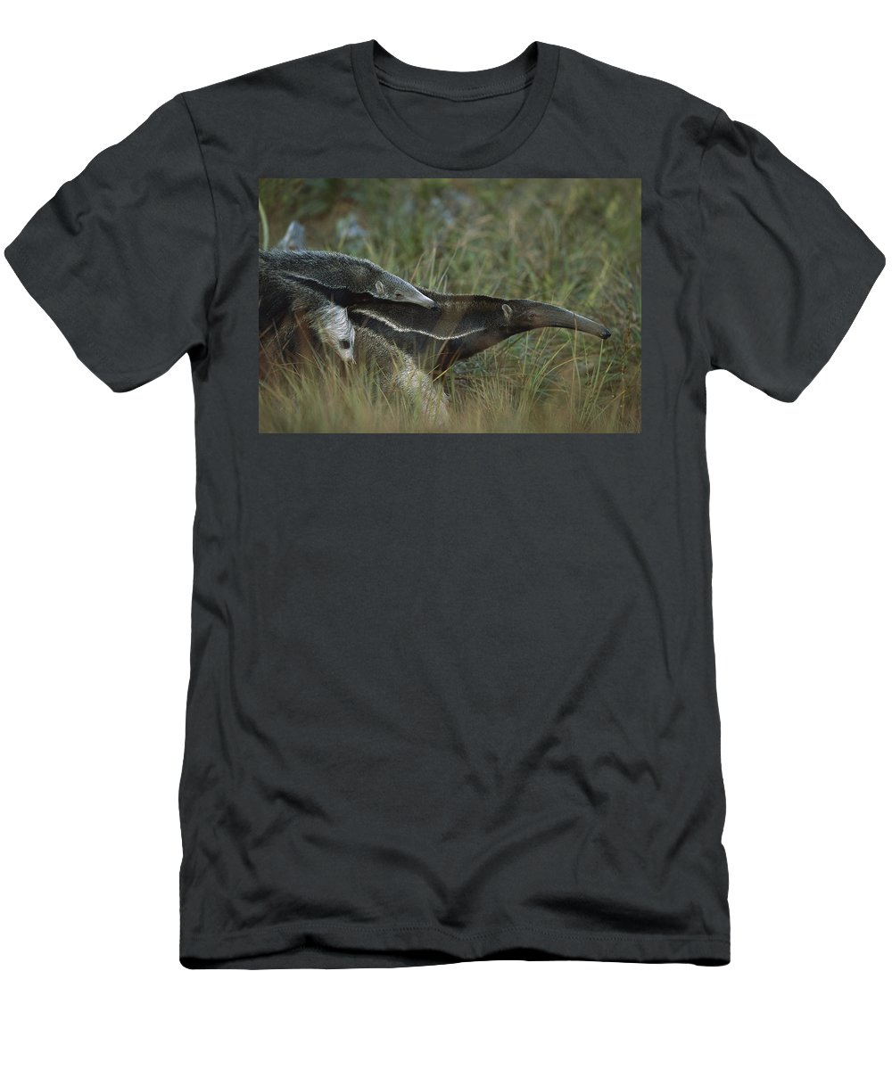 Feb0514 Men's T-Shirt (Athletic Fit) featuring the photograph Giant Anteater And Young In Cerrado by Tui De Roy