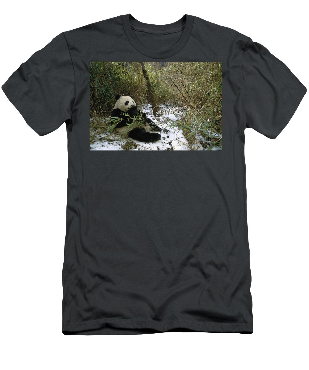 Feb0514 Men's T-Shirt (Athletic Fit) featuring the photograph Giant Panda Eating Bamboo Wolong China by Pete Oxford
