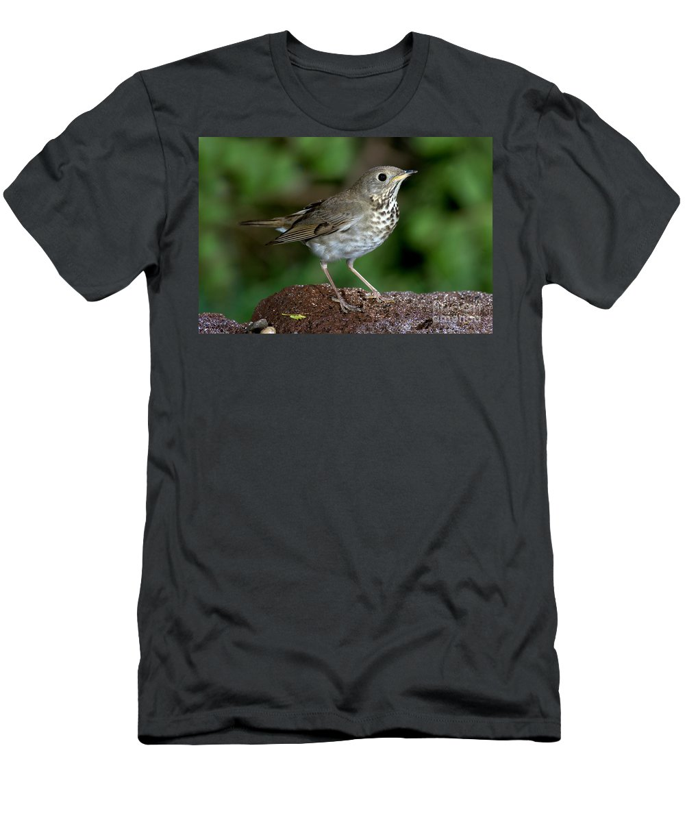 Fauna Men's T-Shirt (Athletic Fit) featuring the photograph Gray-cheeked Thrush Catharus Minimus by Anthony Mercieca