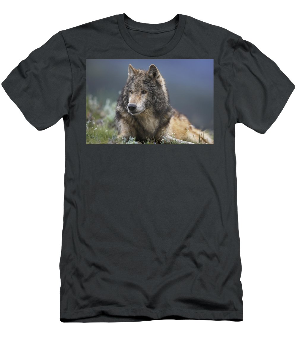 Feb0514 Men's T-Shirt (Athletic Fit) featuring the photograph Gray Wolf Resting North America by Tim Fitzharris