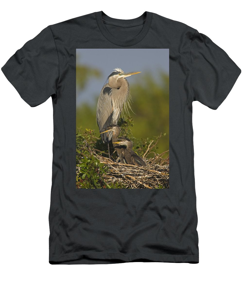 Feb0514 Men's T-Shirt (Athletic Fit) featuring the photograph Great Blue Heron With Chicks Florida by Tom Vezo