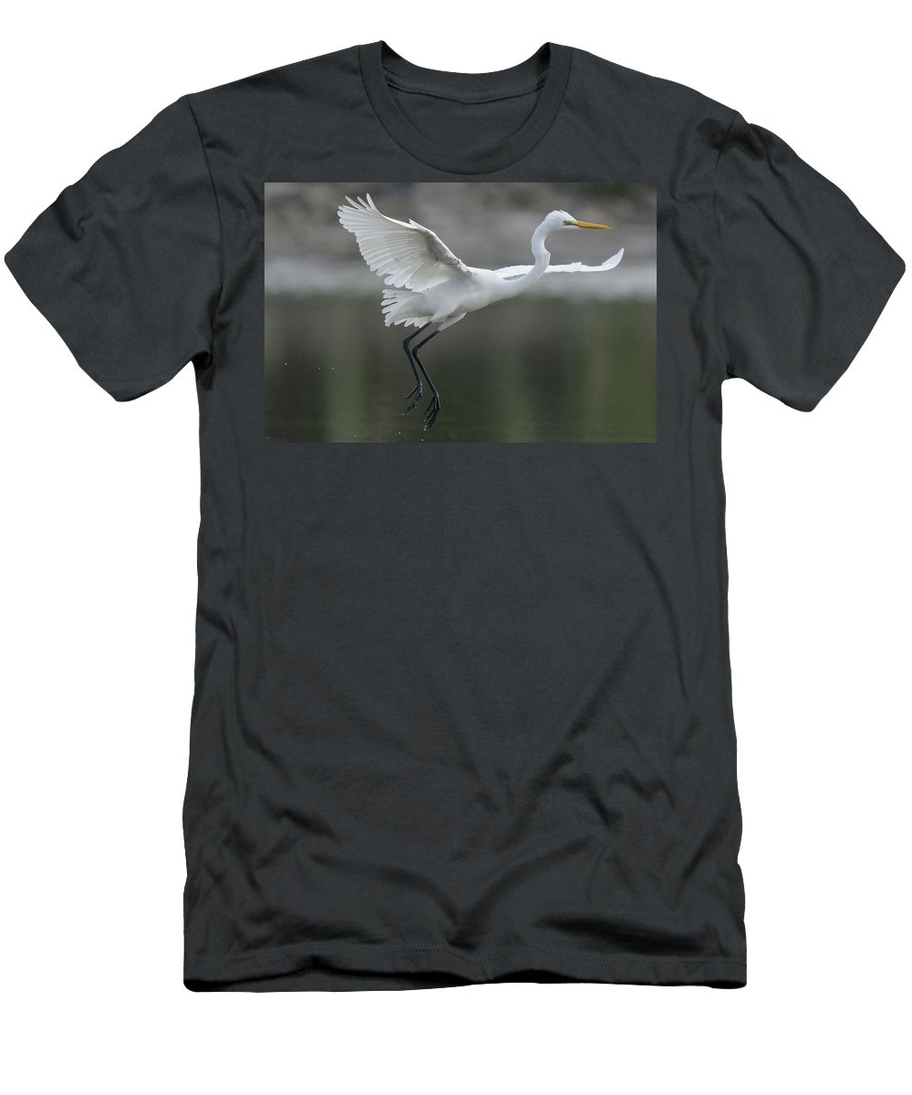 Feb0514 Men's T-Shirt (Athletic Fit) featuring the photograph Great Egret Landing Sarawak Borneo by Ch'ien Lee