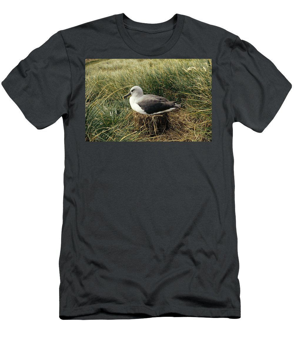 Feb0514 Men's T-Shirt (Athletic Fit) featuring the photograph Grey-headed Albatross Nesting Chile by Tui De Roy