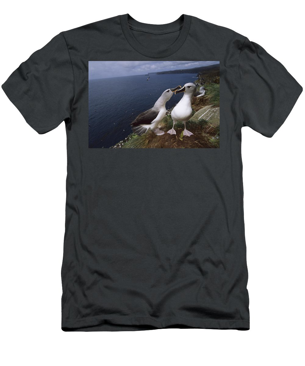 Feb0514 Men's T-Shirt (Athletic Fit) featuring the photograph Grey-headed Albatrosses At Nest Site by Tui De Roy