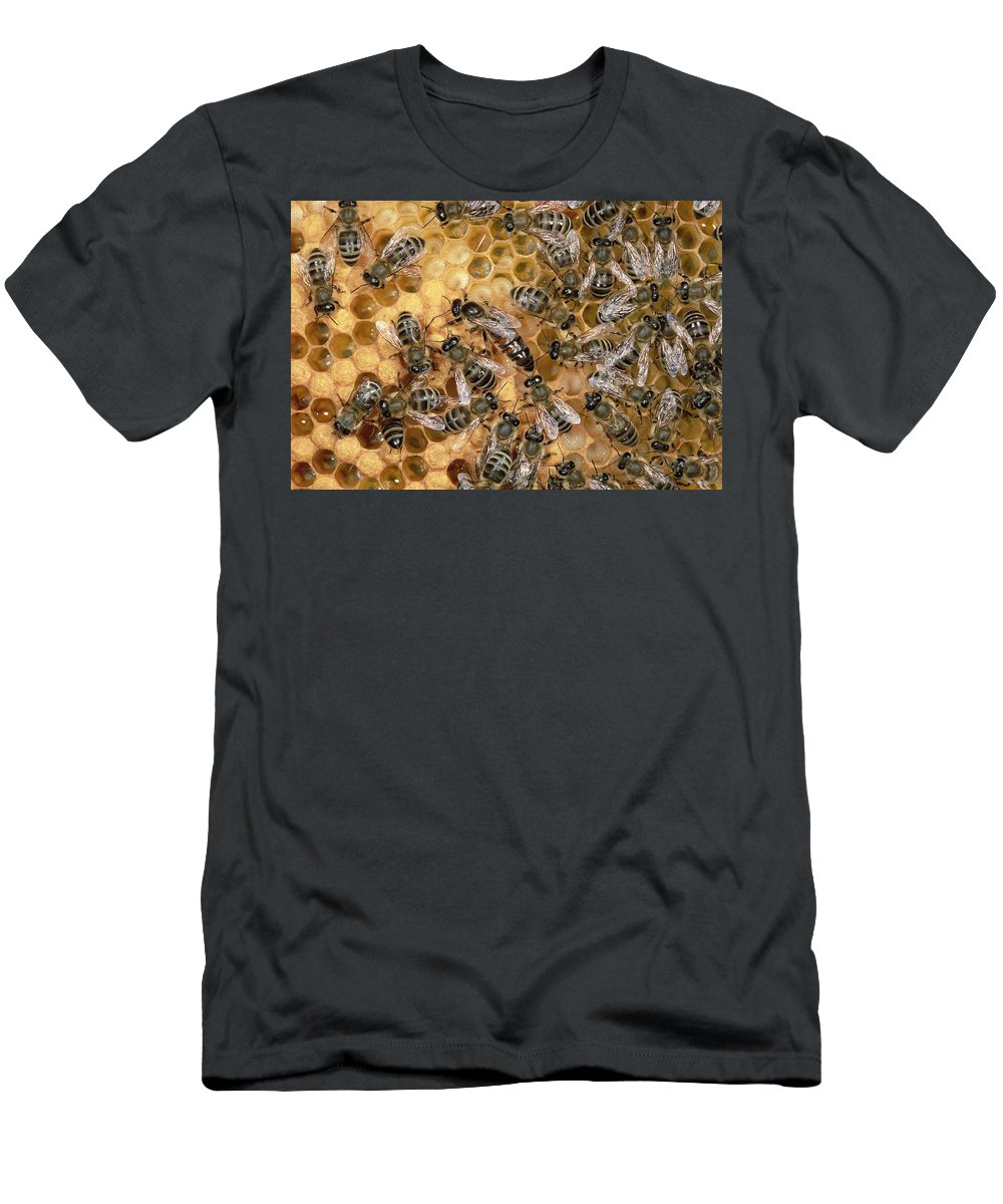 Feb0514 Men's T-Shirt (Athletic Fit) featuring the photograph Honey Bee Queen And Colony On Honeycomb by Konrad Wothe