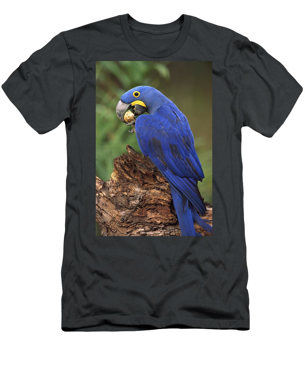 Feb0514 Men's T-Shirt (Athletic Fit) featuring the photograph Hyacinth Macaw Eating Piassava Palm Nuts by Pete Oxford