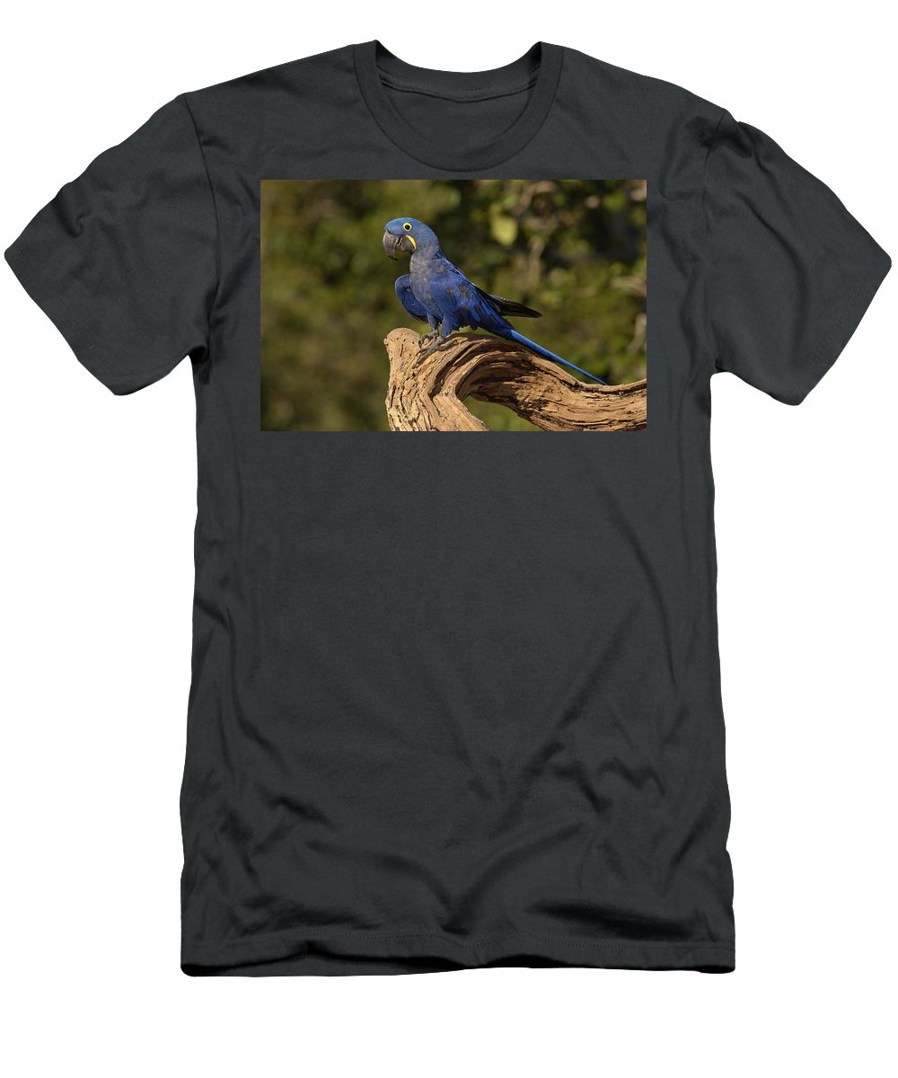 Feb0514 Men's T-Shirt (Athletic Fit) featuring the photograph Hyacinth Macaw Portrait Brazil by Pete Oxford